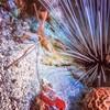 Urchin & Arrow Crab (jnhPhoto) Tags: jnhphoto scuba scubadiving sea urchin coral ocean sonyrx100m5 arrowcrab