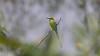 Bee-Eater (Srinath P Reddy) Tags: bengaluru karnataka india in greenbeeeater canonef100400mmf4556lisiiusm canon5dmkiv canon nature naturephotography wildlife wildlifephotography birding birdphotography birdsofindia