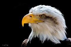 Bald Eagle (Linda Martin Photography) Tags: andover birds haliaeetusleucocephalus baldeagle hampshire hawkconservancytrust uk nature coth5 alittlebeauty fantasticnature naturethroughthelens ngc sunrays5 npc coth specanimal