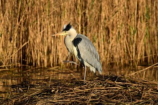Heron stepping out on an autumn day
