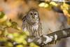 Last Remnants of Fall... (DTT67) Tags: barredowl owl autmumn fall birds birdofprey wildlife nature nationalgeographic canon 500mmii 2xtciii