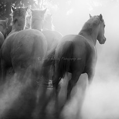 Camargue Horses (pixellesley) Tags: camargue icon horse equine animal corral canter dust light atmosphere lesleygooding