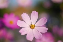 Missing the sunny days (Baubec Izzet) Tags: baubecizzet pentax bokeh flower nature light flickrunitedaward