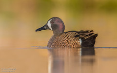 Blue winged Teal (salmoteb@rogers.com) Tags: bird duck wild outdoor color nature toronto ontario blue winged teal