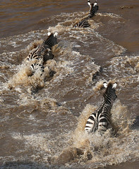 Zebra crossing - Masaï Mara - Kenya (lotusblancphotography) Tags: africa afrique kenya wildlife faune masaïmara crossing zebras zèbres animal water eau fleuve river