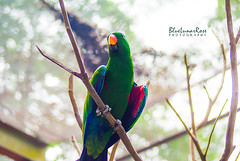 Good Morning Gorgeous! (BlueLunarRose) Tags: eclectusparrot eclectus parrot bird animal cute beauty beautiful park garden tree light bokeh green red blue colors sonyalphadslra200 sal75300 bluelunarrose
