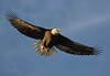 In Flight Warning Call (Beth Sargent) Tags: baldeagle birdofprey raptor bird hunter lake nature wildlife fly fight warning call morning sky wings feathers