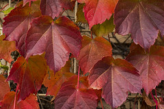 fall colors in my back yard (TAC.Photography) Tags: autumn fall red color thorndale ivy englishivy leaves tomclarkphotographycom tacphotography tomclark d7100