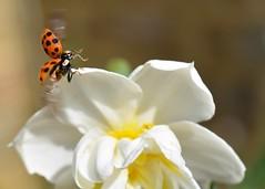 Time to say goodbye! (suekelly52) Tags: ladybird insect macro wings beetle ladybug