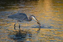 Crawfish Dinner (Frank Coster) Tags: 2017 gbh lakesonoma crawfish fishing greatblueheron