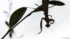 Mantis upside down (Vincent L°) Tags: france poitoucharentes saintjulienlars vienne animaux arthropode bugsetbestioles insecte macro mante photonaturaliste photographie saison ã©tã©