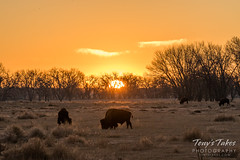 Bison grazing at sunrise
