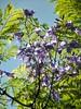 Flowers (jgimbitzki) Tags: photo foto nature natureza flores flowers jacarandá jacaranda tree árvore
