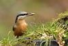 Nuthatch (david.england18) Tags: nuthatch smallbirds various tits blue great coal localpark birdsfeeding birdsuk canon7dmkll canonef70200mmf28lisllusm