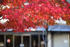 Autumn leaves (Hakutsugu) Tags: kyoto otokuni autumn leaves