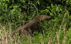 Gorongosa can be a bit Jurassic at times (zimbart) Tags: africa mozambique gorongosanationalpark fauna vertebrata reptiles lizards varanidae squamata varanus varanusniloticus