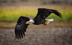 Down and Dirty (~ Bob ~) Tags: americanbaldeagle tamron baldeagle nikon amazing nature d500 feisol britishcolumbia wildlife flight river frasier canada wings raptor birdofprey bird
