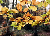 Autumn Leaves (Hyons Wood) (Jonathan Carr) Tags: ancientwoodland rural northeast landscape kodakportra160