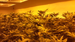 20150422_102856 (CannaPsy) Tags: hydroponics flood drain indoor medical cannabis marijuana weed horticulture high pressure sodium hps og