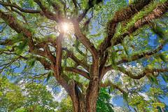 tree under the sun (abtabt) Tags: trinidadandtobago tt pos portofspain handheldhdr tree plant d7001835g aurora sun