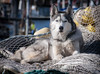 DSC_7751 (randy.quayle) Tags: randyquayle huskie dog fishing boat net ketchikan