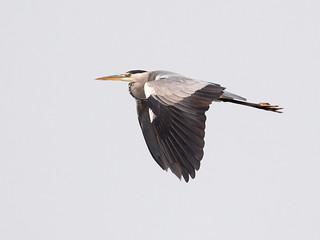 Two Herons: grey - Zwei Reiher: grau (Joe)