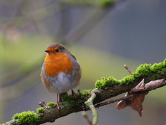 Robin-pose (johnb/Derbys/UK) Tags: robin bird red breast christmas pov derbyshireuk birdpose xmascardpose nice tiny nosey friendly little santabird