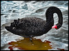 Black Swan Takes a Bow (ag&ph2010) Tags: waterbirds blackswan swan williamstown bird birds blackbirds