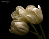 Three White Tulips 1129 Copyrighted (Tjerger) Tags: nature beautiful beauty black blackbackground bloom blooming booms closeup fall flora floral flower flowers green macro plant portrait texture three trio tulip tulips white wisconsin natural