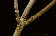 Twig (Bert de Boer) Tags: macromondays stick bertdeboer bertop bossen woods macro mondays twig