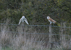 Love at first sight? (KHR Images) Tags: barnowl barn owl owls pair tytoalba wild bird birdofprey cambridgeshire fens eastanglia submissive perched wildlife nature nikon d500 kevinrobson khrimages