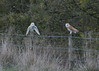 Love at first sight? (KHR Images) Tags: barnowl barn owl owls pair tytoalba wild bird birdofprey cambridgeshire fens eastanglia submissive perched wildlife nature nikon d500 kevinrobson khrimages