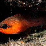 Mediterranean cardinalfish - Apogon imberbis thumbnail