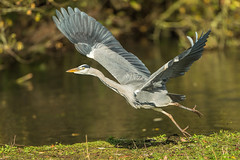 Tripping the light fantastic. (Andrew Haynes Wildlife Images) Tags: heron takeoff wildlife warwickshire brandonmarsh