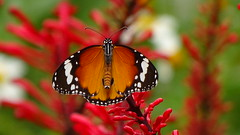 Great  78473 (johnjnjj) Tags: 2017 butterfly insect bug capture asia award canon natural marco lady plant place camera amazing share beautiful squareformat great square dof d bird world good focus fujifilm flower prefect hongkong hot hit shown light pretty pov youth top nice nick cool