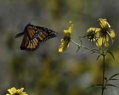 MonarchButterfly_SAF2303 (sara97) Tags: danausplexippus butterfly copyright©2017saraannefinke endangered insect missouri monarch monarchbutterfly nature photobysaraannefinke pollinator saintlouis