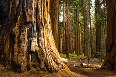 Sequoia National Park (rmstark3) Tags: forest wood tree sequoia national park trail peaceful ngc