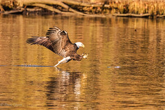 Tail Braking for the Catch (dngovoni) Tags: virginia action autumn bird eagle fall fish jamesriver raptor sunrise water wildlife richmond unitedstates us