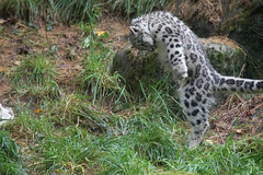Rabbit Dance (zenseas) Tags: pantherauncia phinneyridge washington funny unciauncia rabbitdance playingwithrabbit aibek snowleopard woodlandparkzoo seattle wpz cub fourandhalfmonthsold explore explored dancing action dance