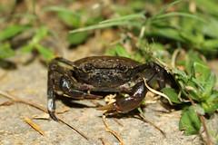 Sinopotamon lansi (Nature.Catcher) Tags: sinopotamon sinopotamonlansi freshwatercrab crab chinesefreshwatercrab china guilin guangxi yangshuo yulong potamidae liriver lijiang nature iucn leastconcern taxonomy:binomial=sinopotamonlansi
