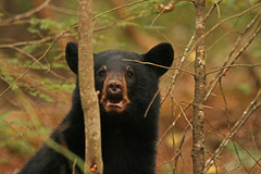 curious (hennessy.barb) Tags: bearblack bear cub wildlife nature mammal gsmnp greatsmokymountains cadescove blackbearcub