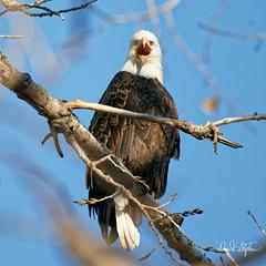 Don't Point At Me (dcstep) Tags: dsc0262dxo cherrycreekstatepark colorado usa aurora sonya9 fe100400mmf4556gmoss fe14xteleconverter allrightsreserved copyright2017davidcstephens dxophotolab101 nature wild urban urbannature birdofprey raptor eagle baldeagle adult