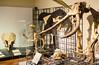 Animales prehistóricos (vcastelo) Tags: elefante evolución calavera esqueletos museo nacional ciencias naturales mncn csic madrid españa spain investigación naturalización taxidermia