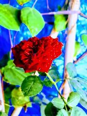 Luv_Rose (deepakdandepelli144) Tags: rose attractive reddish naturelove morningclicks