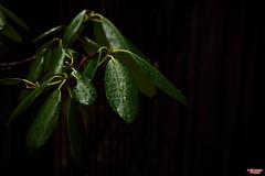Green Leaves (MBates Foto) Tags: availablelight botanicals color daylight existinglight floral green nikkorlense nikon nikond810 outdoors plants rain spokane washington unitedstates 99203