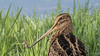 Latham's snipe, Gallinago hardwickii-5677 (rawshorty) Tags: rawshorty birds canberra australia act jerrabomberrawetlands