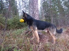 doggie dog (jondewi52) Tags: animal colours colour dog gsd german landscape norrland nature nofilter nophotoshop outdoor outdoors forest shepherd trees tree wood woods grass