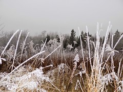 First Frost (rachael242) Tags: frost first morning nature flora grass weeds feild field forest wood landscape 7dwf ice winter snow freeze froze frozen canada
