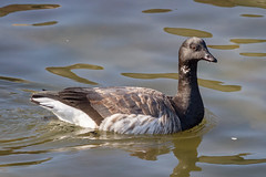 Brant Goose (tresed47) Tags: 2017 201711nov 20171129newjerseybirds barnegatlightsp birds brantgoose canon7d content fall folder goose newjersey november peterscamera petersphotos places season takenby us