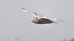 Snowy on a foggy day. (Hanzy2012) Tags: d500 afsnikkor500mmf4difedii toronto ontario wildlife canada snowyowl buboscandiacus harfangdesneiges